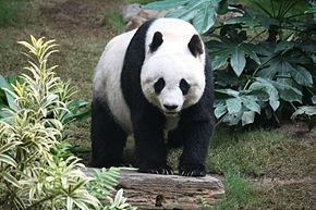 290px-Grosser_Panda