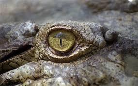 oeil croco 2