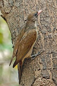 Greater_Honeyguide,_Gambia