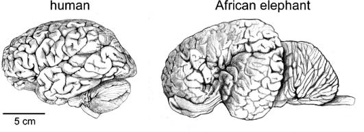 elephant-cerveau