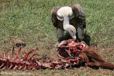 vautour-ruppell-carcasse1