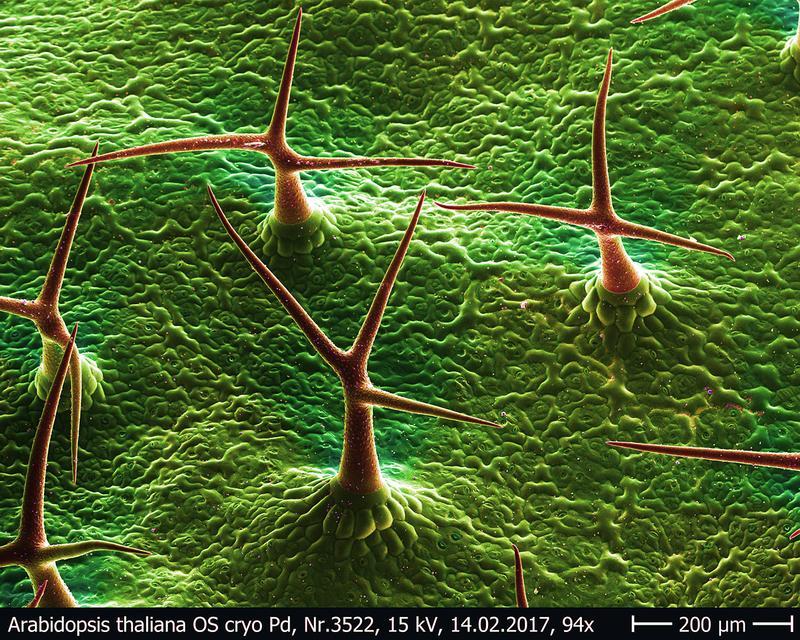 17-12-28 Dornen thaliana